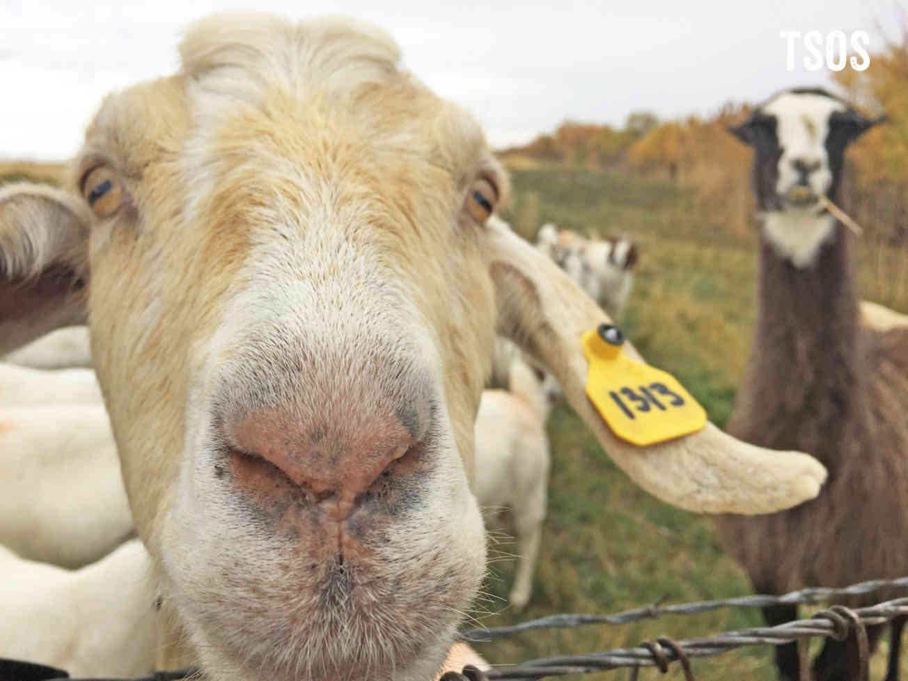 Goats Face